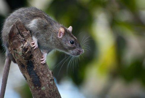 Kwart Bruine Ratten In Nederland Resistent Voor Gif