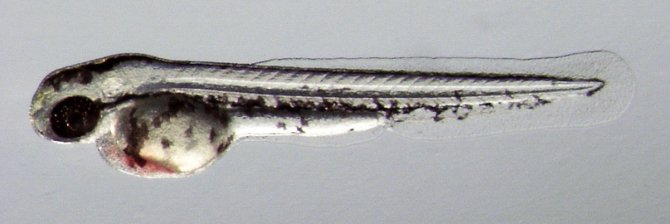 Zebrafish (wt) - 48 hours post fertilisation