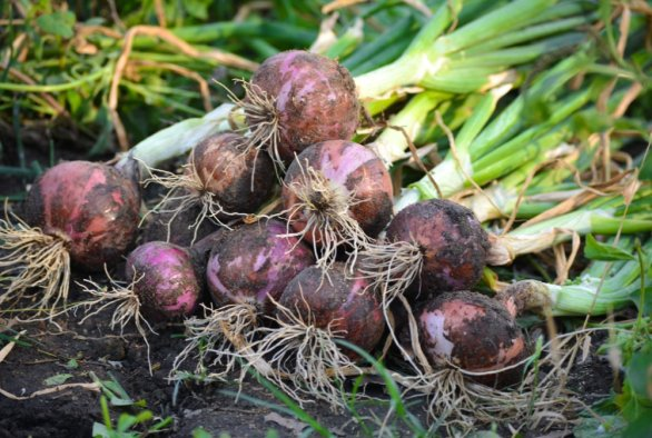Researchers map law of variations in plant roots: an onion outsources