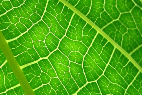 Leaf anatomy and photosynthesis: Unravelling the CO2 diffusion pathway in C3 leaves