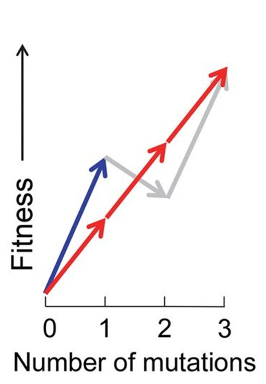 In this figure, the 'biggest steps get you there the fastest' approach is shown with the blue arrow. To continue improving, this population must become less fit (shown with the grey arrow). But it does not go through such a decline because the cells with less fitness do not survive.  The red arrows are smaller improvement steps, such as those that take place with selection from smaller amounts of variation. This strategy leads to less risk of stagnation.
