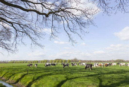 Reduceren van hittestress bij melkvee tijdens weidegang