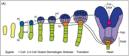 Figure 1. The embryogenesis of Arabidopsis theliana During the early globular stage, the upper-most suspensor cell (in green) will be recruited to become hypophysis (in orange). ac, apical cell, bc, basal cell, pe, pre-embryo, ut, upper tile cells, lt, lower tile cells, pd, protodermal cells, hy, hypophysis, Cot, cotyledons, SAM, soot apical meristem, Hyp, hypocotyl, RAM, root apical meristem.