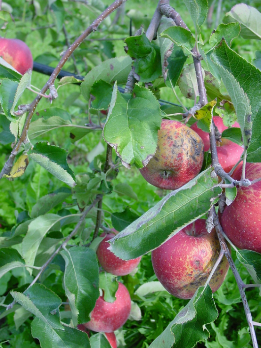The publication of the apple genome will make it easier to develop new apple varieties with resistance against apple scab. These varieties need less fungicides and are thus more sustainable.