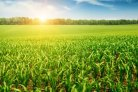 Mais op scheurgrond heeft geen mest nodig