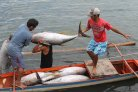 The tunas are being unloaded from a small banca (local term for boat) by fishermen in Occidental Mindoro, Philippines