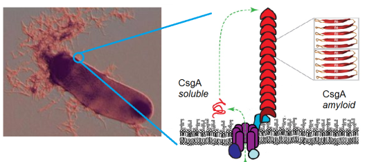 "Left: so-called ""fimbriae"" on an E coli bacterium. The fimbriae of E coli are called curli, and they are entirely composed on the curli protein CsgA. Right: other ""curli"" proteins all act closer to the membrane or inside the bacterium."