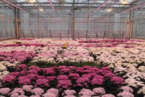 Efficient electricity use for Chrysanthemum