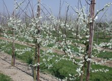 Publicaties Prunus spinosa