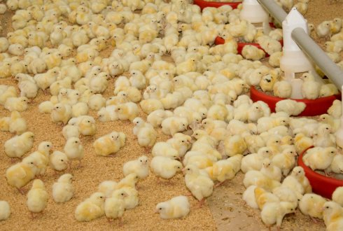 First week nutrition for broiler chickens. Effects on growth, metabolic status, organ development, and carcass composition.