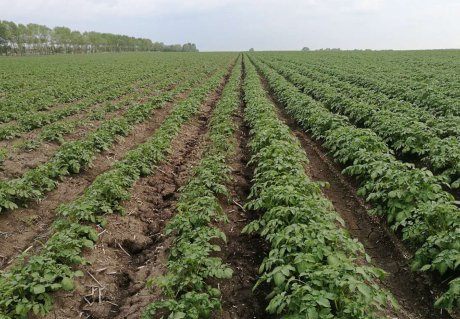 Field Potato sector development for emerging markets