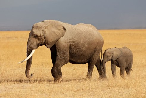 African Elephant in a Cleft Stick. Choosing between starving or dying from thirst in arid savanna