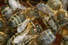 Bees: insecticide increases effect of varroa mite