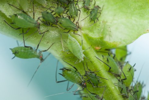 Bacteria protect aphids from natural enemies