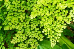 Adiantum fern is master air purifier, with the highest capacity per leaf area.