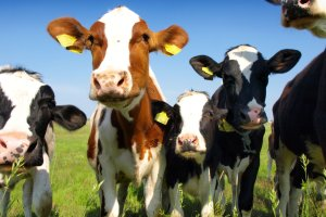 Course successful dairy heifer rearing: feeding and management