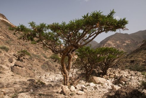Dendrochronology and bark anatomy of the frankincense tree