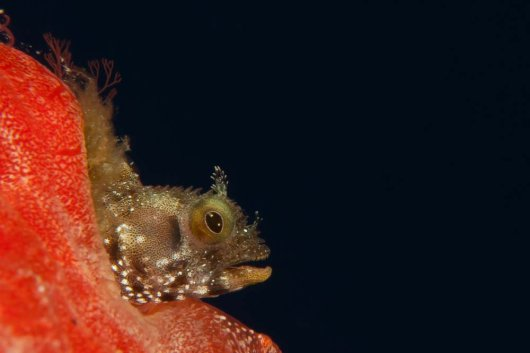 Responsible use of the rich marine biodiversity in the Dutch Caribbean could support sustainable economic activities on these islands. This two-centimetre-small blenny is found in a historical wreck near St. Eustatius (Photo: Diana Slijkerman).
