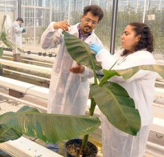 Disseminating Panama disease in banana caused by one single clone of the Fusarium fungus