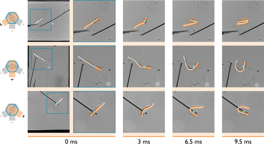 Figure: 3D reconstruction of the deformation, translation and rotation of a larval zebrafish using a three camera high-speed video set up and an in-house developed software package. The dot shows the centre of mass. The white curve shows the reconstructed body axis.