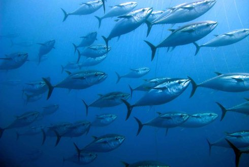 New Tuna Regimes: Governing Sustainability and Equity in the Western and Central Pacific Ocean