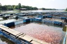 The sustainable fish of the future will come from a fish farm