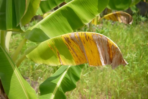 Panama Disease in Banana and Neoliberal Governance: Towards a Political Ecology of Risk