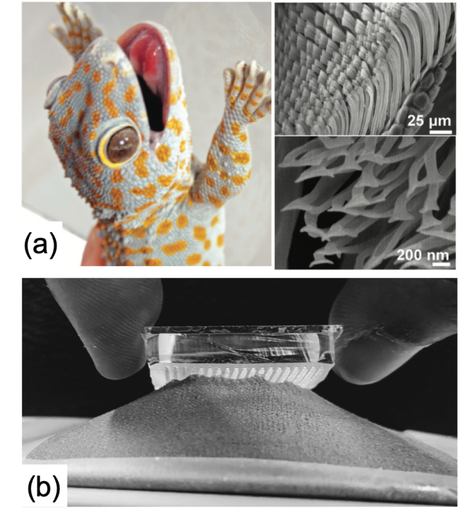 Figure 1: (a) A picture of a Gecko along with SEM pictures of its toe showing micro and-nanometric pattern, and (b) attachment of a patterned surface on a textile fabric.