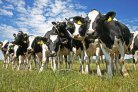 Hoge inteelttoename in Holstein Friesian fokprogramma sinds begin genomic selection