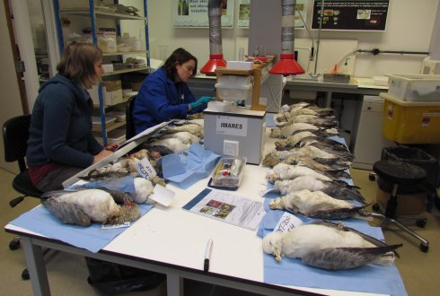 New report: Monitoring plastics in Northern fulmars