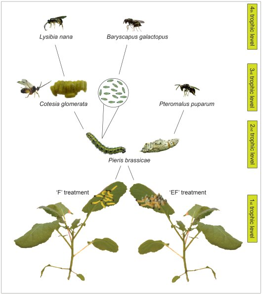 Trophic network on Brassica nigra in the field study. EF plants were exposed to P. brassicae eggs, and then eaten (Feeding; plant on right) while F plants were only exposed to being eaten (Feeding; plant on left). Illustration: www.bugsinthepicture.com.