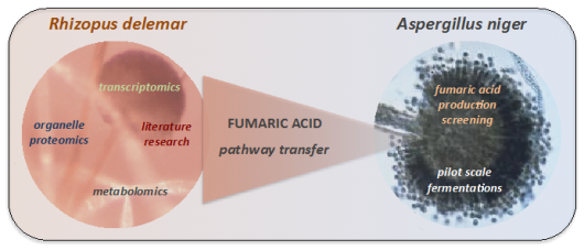 Fumaric acid production in A.niger