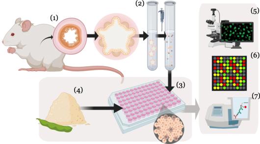Schematische weergave van de studie. De wetenschappers maakten organoïden uit de twaalfvingerige darm van muizen (1). De organoïden werden vervolgens gescheiden in enkele cellen (2) en gegroeid als laag van cellen (3). Aan die organoïden voegden de onderzoekers eiwitbronnen toe (4). Ze bekeken de cellen onder de microscoop (5), onderzochten welke genen aanstonden in de cellen (6) en voerden biochemische testen uit (7), om de effecten van onverteerde eiwitbronnen te onderzoeken.