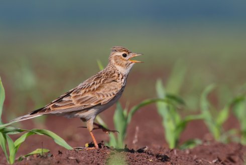 Quantification of farmland birds in diversified Dutch, arable cropping systems and monocultural arable cropping systems