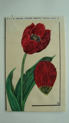 Tulipa virus. Drawing by Suzon van Bovene-Beynon