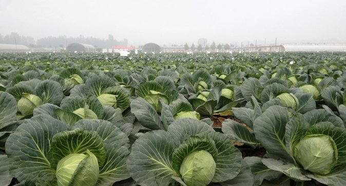 How Chinese cabbage and white cabbage became alike