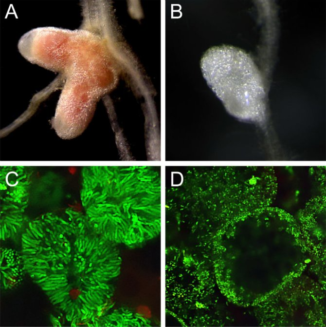 Figure 1. The nin mutant is defective in bacterial differentiation in nodules. (A) WT nodule is pink because it contains leghemoglobin. (B) In contrast, nin mutant forms white nodules. (C) Differentiated elongated bacteria (green) in WT nodules (C) and (D) non-differentiated small bacteria in mutant nodule. C, D are confocal images. Rhizobia expressing GFP were used for inoculation of roots.