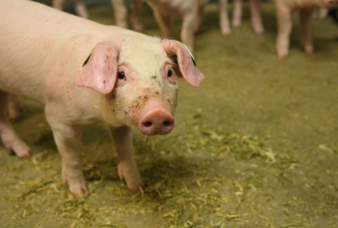 Update of phosphorus and calcium recommendations for swine