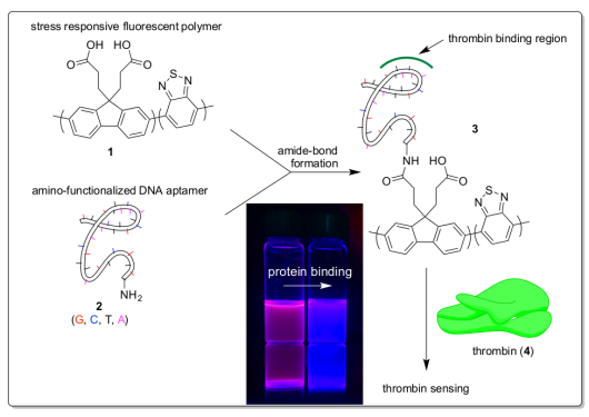 Aptamer-Functionalized Conjugated Polymer Nanosensors for the detection of proteins.png