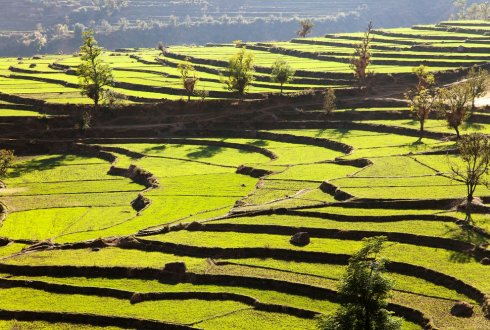 Agricultural intensification in Nepal, with particular reference to systems of rice intensification