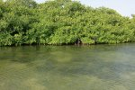 Red mangrove forests along the shores of Lac Bay. Young fish hide among the mangrove roots.