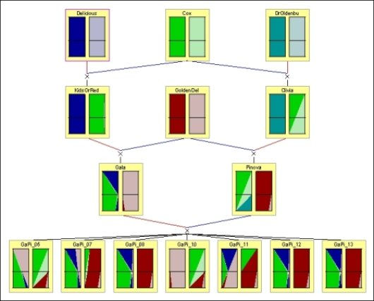 Part of an apple pedigree showing Identity-by-Descent probabilities for chromosome 1. Each color represents a different founder allele. The two rectangles in each individual represent the maternally and paternally inherited chromosome. The vertical dimension of each rectangle corresponds to the positions along the linkage map, while the width of a color at particular height reflects the probability that the corresponding founder allele is present at that locus on the map.