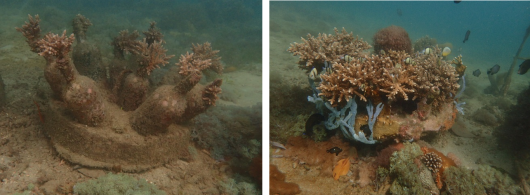 Coral on artificial reef structure (left), and its incorporation in the seascape after 3-4 years (right). Photo: Dr. R. Osinga.