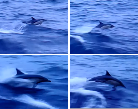 bluewhiting-Picture 3_ dolphins.png