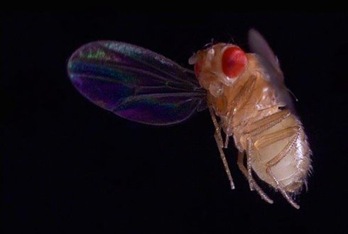 Watch fruit flies flying with broken wings