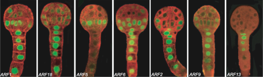Figure 1. Expression pattern of some ARFs in Arabidopsis embryos. Rademacher et al, 2011
