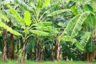 Banana cultivation
