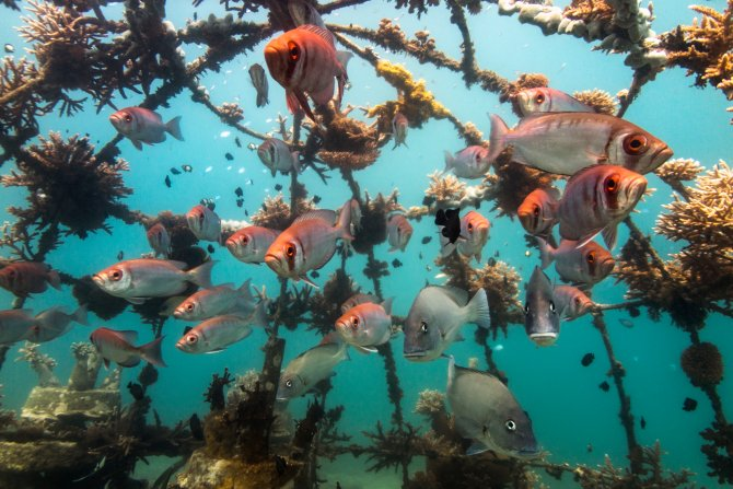 Monitoring the biological interactions with cultured corals and various artificial reef types