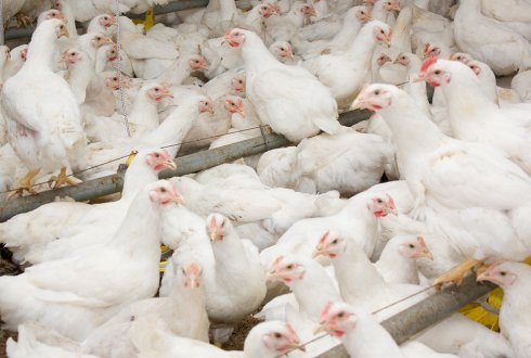Effects of early life conditions on immunity in broilers and layers