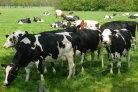 Natuurlijk gedrag van de koe_Melkveefonds